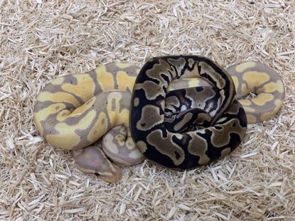 Picture of Banana Pied Maker Pair